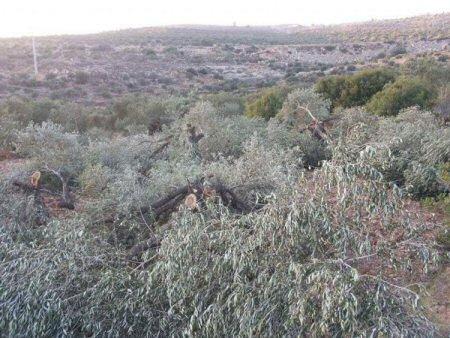 Aangevallen olijfbomen