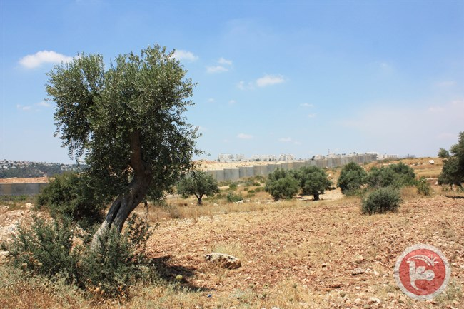 olijfboom-illegale-verkoop