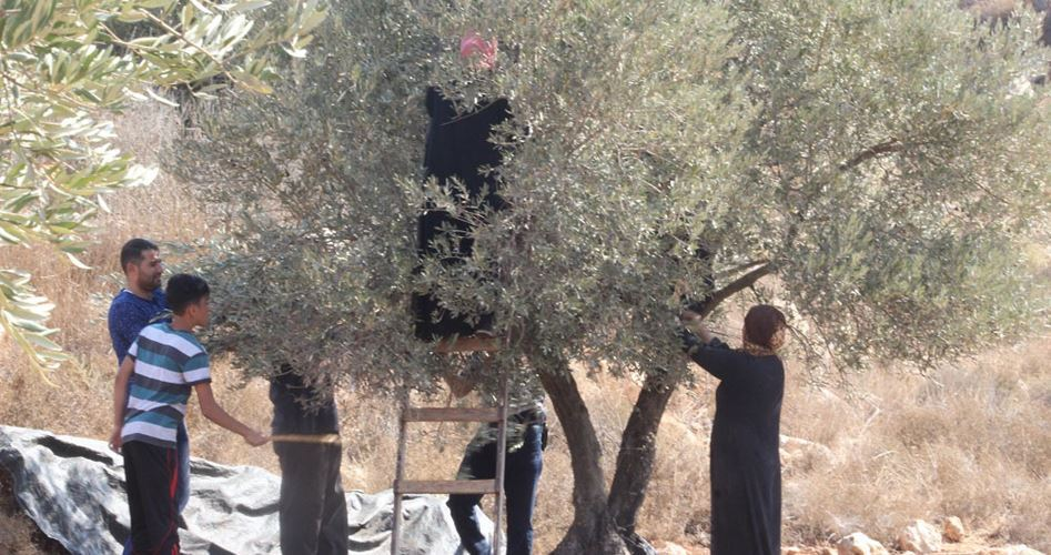 Settlers attack olives again